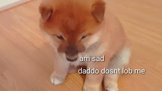 Shiro breaks his haart 😔💔 Shiba Inu puppies (with captions)