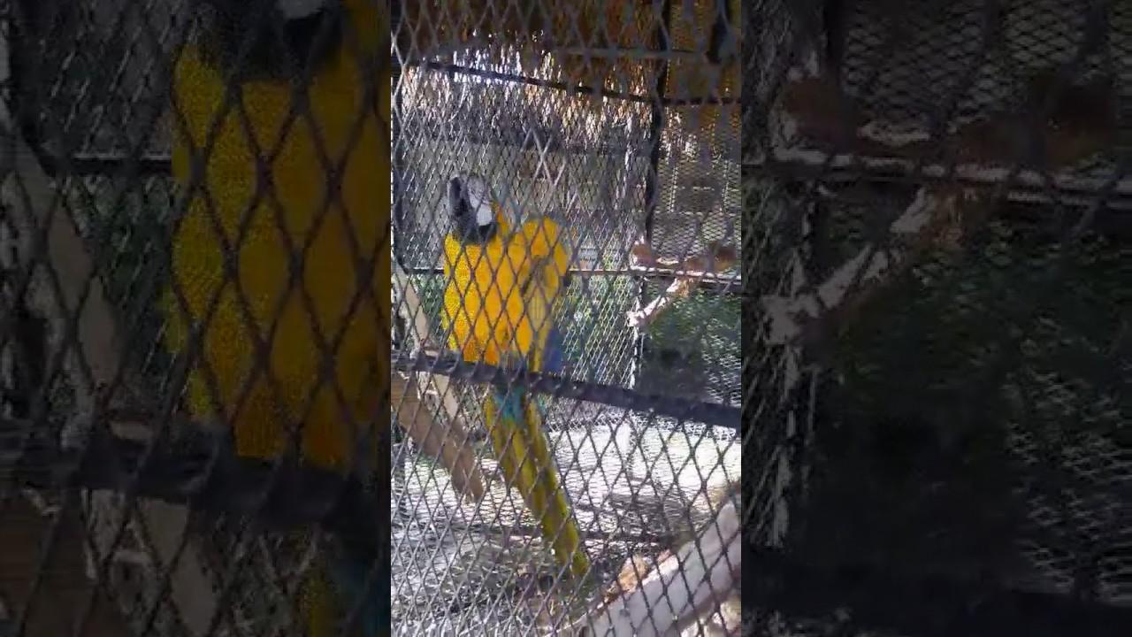 Parrot speaks Jamaican- \