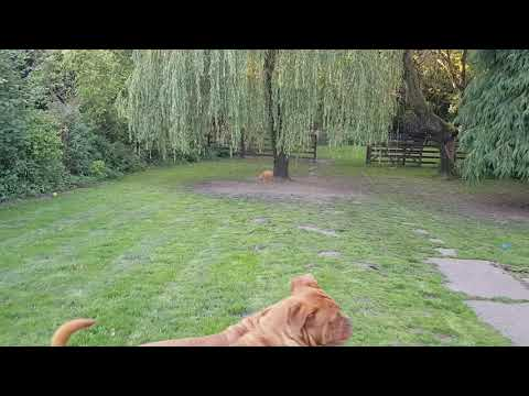 BUSTED!! Naughty Dogue de Bordeaux Puppy!
