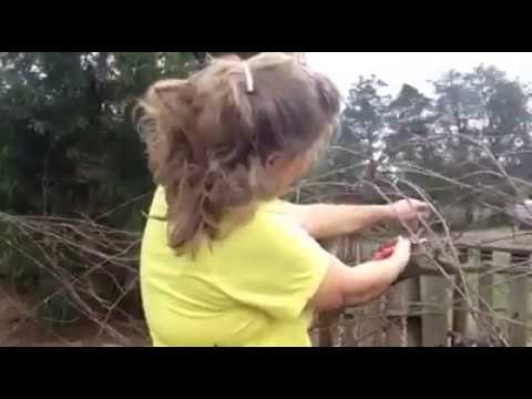 How to prune muscadine grape vines  Late winter pruning