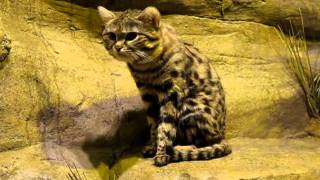Young Black Footed Cat Meowing at the Brookfield Zoo in Chicago IL