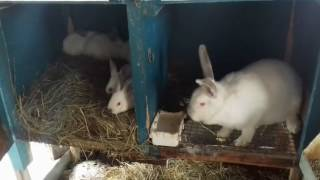 Кролики в моём хозяйстве.