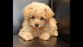 Pros and cons of maltipoo (cute )