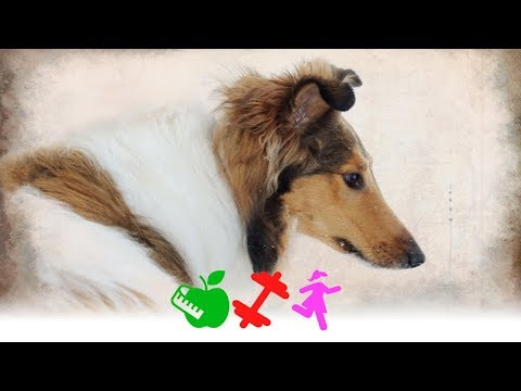 Caractersticas de la raza de perro Collie /DGS/ Brenda