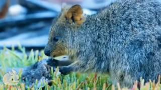 Meet the Quokka - Cutest Animal from Australia