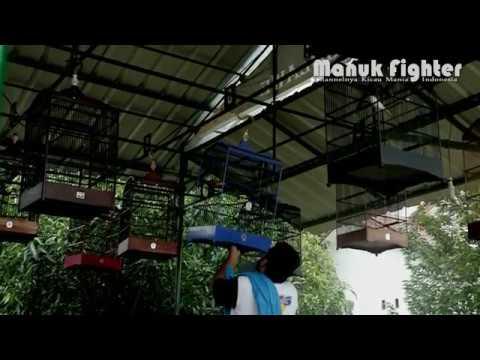 Download Lagu Aksi Kenari SAMG0NG Milik H. Herman di Kawal Langsung Oleh Mr. Aconk