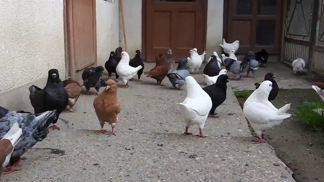 50822f92d pigeons king _ حمام الكنج الاصلي مستوى عالي وعالمي - YouTube