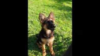 Zeus Is A German Shepherd 2 Years Old.