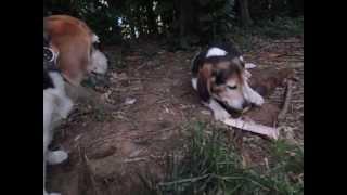 伸びすぎたタケノコを折って庭に放置しておいたら、食いしん坊ビーグル...