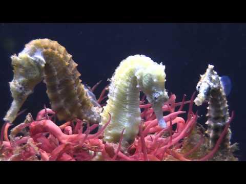 seahorse having babies, babies growing up