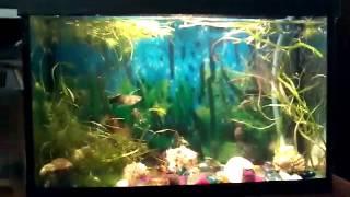 Рыбки гуппи  как ухаживать за ними