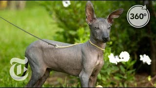 Hairless Dogs 'As Important As Machu Picchu' In Peru | The Daily 360 | The New York Times