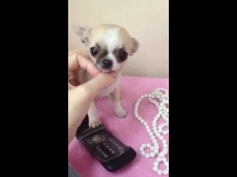 Tiniest Micro Teacup Female Chihuahua Fully Grown 1 Lb Only