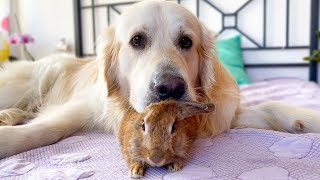 Golden Retriever Shows his Love for the Rabbit