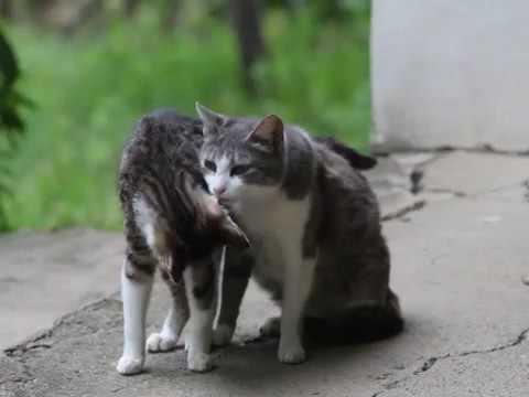 female cat spraying spayed