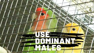 How to detect dominant males and take perfect breeding by them