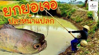 ยกยอได้ปลาหมอพันธุ์เฟรนช์บูลด็อก Fishing lifestyle Ep.60