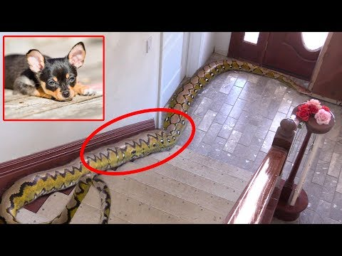 Family's Dog is Missing, finds 20-FOOT-LONG PYTHON IN HOME!