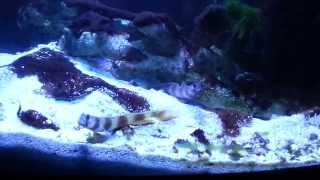 Metallic Goby (Amblyeleotris latifasciata) pair with Tiger Snapping Shrimp (Alpheus bellulus)