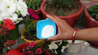 ₹2 की यह चीज पत्तियों को पीला होने,फंगस से बचाए,पौधों को दे भरपूर कैल्शियम,calcium in plants