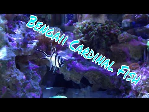 Bangaii Cardinalfish Care Guide