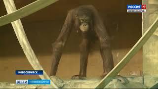 Невеста из Москвы прилетела к орангутану Бату из новосибирского зоопарка