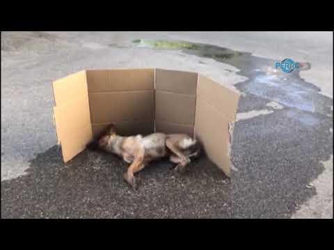 Zehirlenen Köpek Dakikalarca Sokak Ortasında Can Çekişti