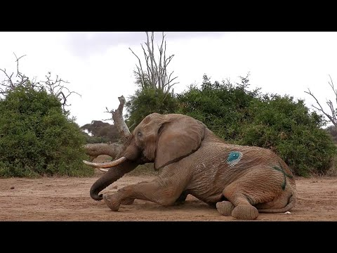 African Elephant Survives Spear Injury
