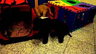 English Cocker Spaniel - Puppies 10 Wochen - J-wurf