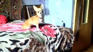 Воспитательный процесс маленькой собачки ❤ The educational process of a small dog. Chihuahua