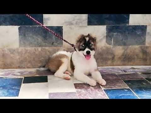 Afghan Kuchi | Afghan Shepherd | Puppy Dog