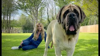 THE ENGLISH MASTIFF  THE WORLD'S HEAVIEST DOG