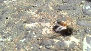 Killer bee dying after it stung someone...