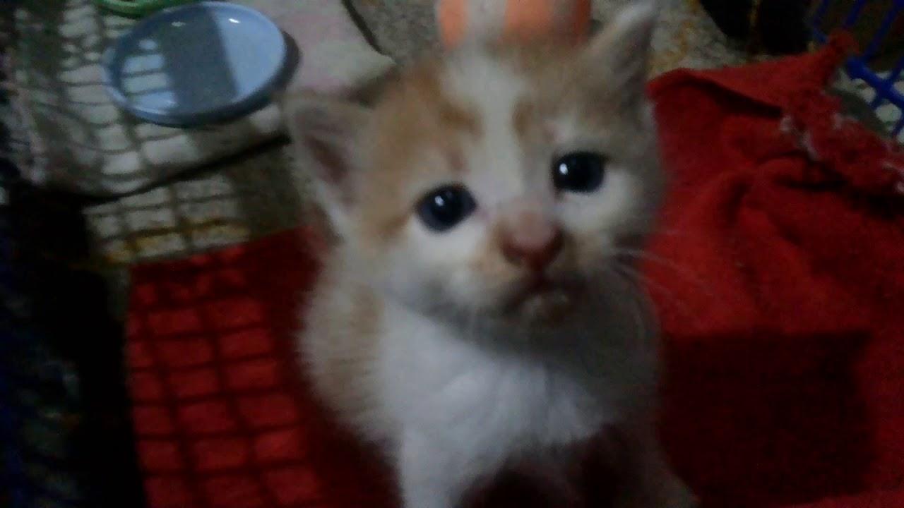 Download 95+  Gambar Kucing Anggora Kecil Paling Bagus