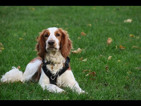 Bronte - Welsh Springer Spaniel - 4 Weeks Residential Dog Training