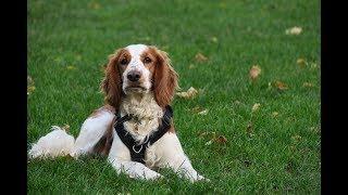 Bronte  Welsh Springer Spaniel  4 Weeks Residential Dog Training