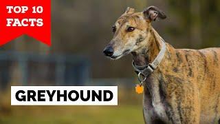 Greyhound  Top 10 Facts