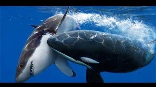 Loài cá voi sát thủ
