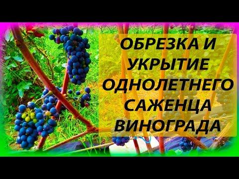 УКРЫТИЕ И ОБРЕЗКА ОДНОЛЕТНЕГО ВИНОГРАДА НА ЗИМУ В СРЕДНЕЙ ПОЛОСЕ 🍇🍇🍇 Как выращивать виноград