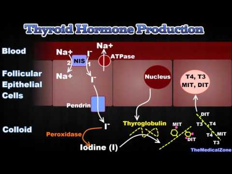 Thyroid Gland and Thyroid Hormones - [T3, T4, Thyroglobulin, Iodide Trapping etc.] - YouTube