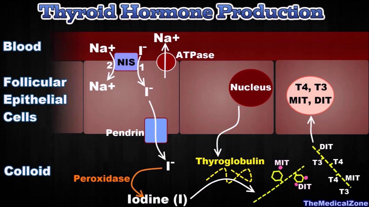 Thyroid Gland And Thyroid Hormones T3 T4 Thyroglobulin Iodide Trapping Etc Youtube