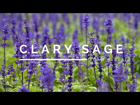 Clary Sage - The Oil Of Perspective