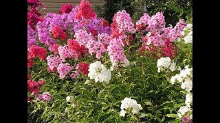 Amazing and most beautiful Phlox flowers pictures