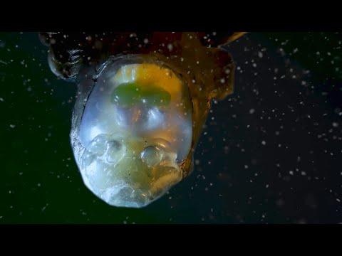 Barreleye Fish With See-through Skull