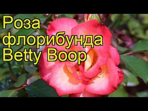 Роза флорибунда Бетти буп. Краткий обзор, описание характеристик, где купить саженцы Betty Boop