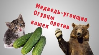 Медведь угонщик, тяжелая фотомодель и огурцы против кошек
