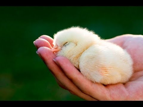 top cutest baby chick