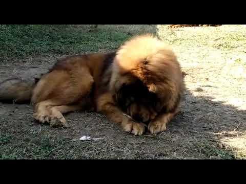Tibetan mastiff puppies available 9910504304