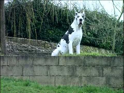 Le Dogue Allemand Origine Personnalit 233 233 Ducation