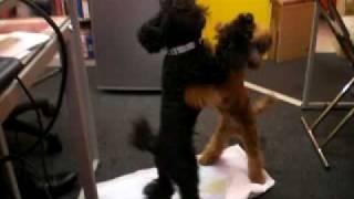 当店のマスコット犬クッキー&エルモです。 2匹の喧嘩の動画です。
